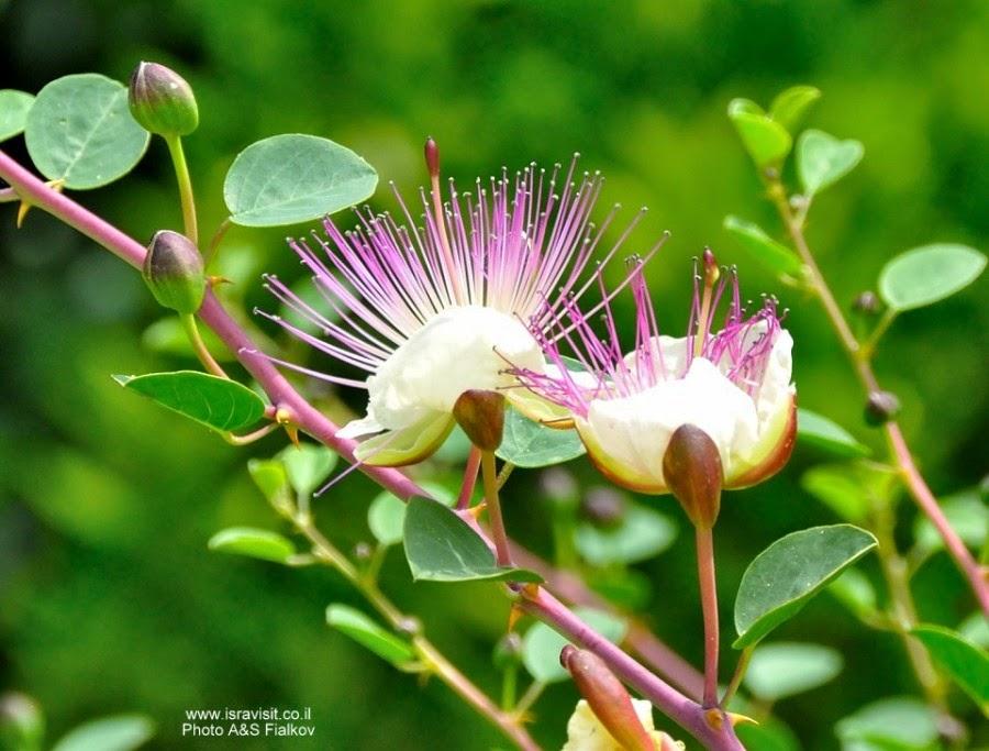 Цветет терновый куст. Отращивает шипы для тернового венца.  Верхняя Галилея. Израиль. Гид в Галилее Светлана Фиалкова.
