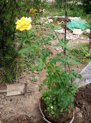 Hồng vàng Thái thân khỏe, ít phân nhánh
