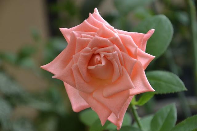 Розы в комнатной культуре - Страница 5 Dsc2443d