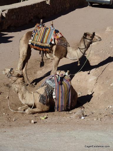 camel rides, mt. sinai