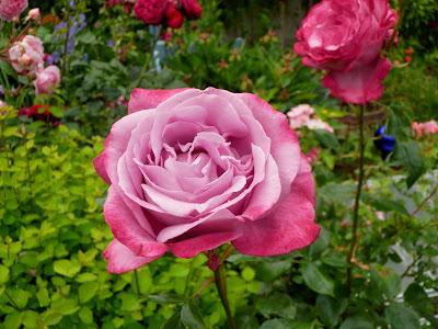 violette rosen. Black Bedroom Furniture Sets. Home Design Ideas