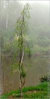 Betula pendula 'Gracilis' - Brzoza brodawkowata pokrój