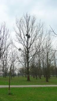 Jemioła na drzewie