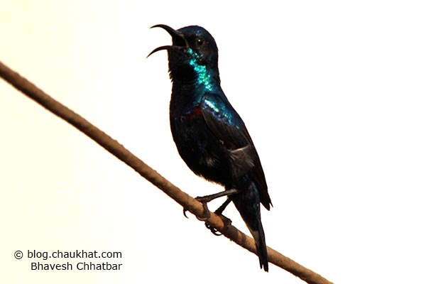Male Purple Sunbird [Cinnyris asiaticus] whistling at full volume