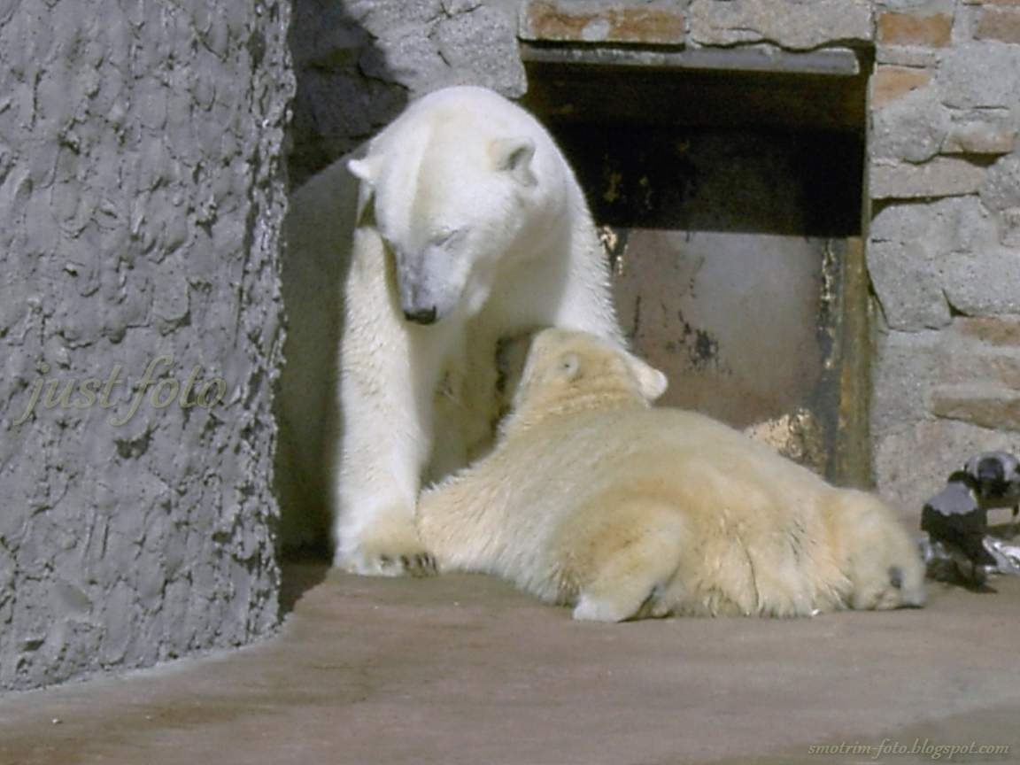 Зоопарк белые медведи медведица медвежонок фото Санкт-Петербург