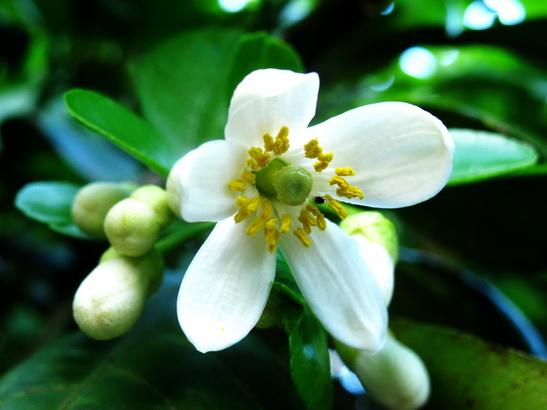 ảnh hoa bưởi nở trắng thật tinh khiết