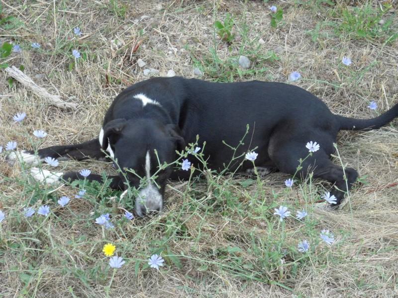 SAMm  -  croisé Labrador  12 ans  (6 ans de refuge)   -  REFUGE DE  SISTERON  (04) Sam%2520%25282%2529