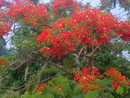 Ảnh hoa phượng đỏ