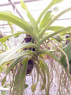 Hoa lan Ngọc Điểm - Nghinh Xuân - Đai Châu rừng trồng thuần tại vườn - 3