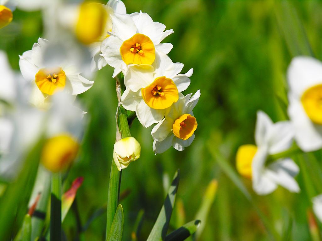 Hình hoa thủy tiên đẹp