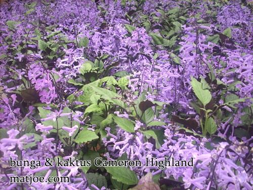 Gambar) bunga dan kaktus cameron highland