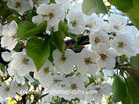 White cherry blossom tree branch