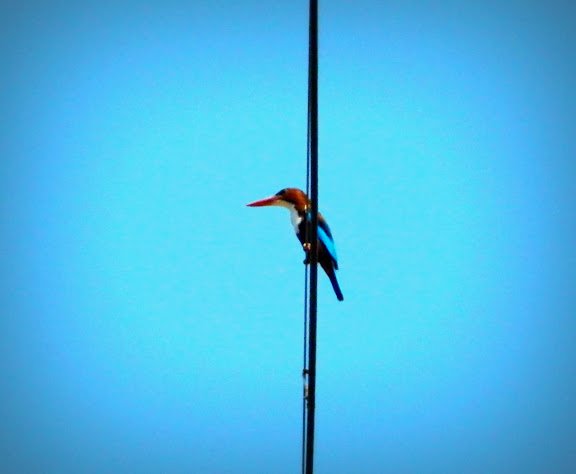 White breasted Kingfisher in Mumbai