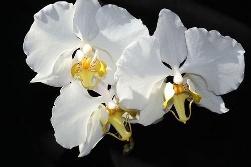 Растения из Тюмени. Краткий обзор - Страница 7 Phalaenopsis%252520amabilis%252520%252527Saba%252527