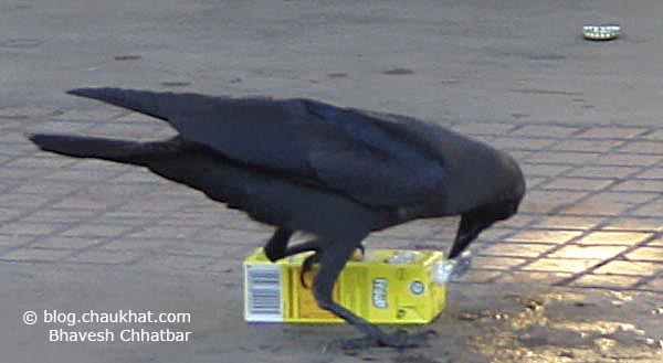 Photograph of a Crow Having Soft Drink Drop-by-Drop