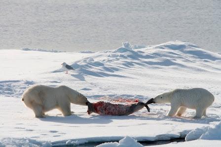 Urso pardo vs Urso polar 7827.2
