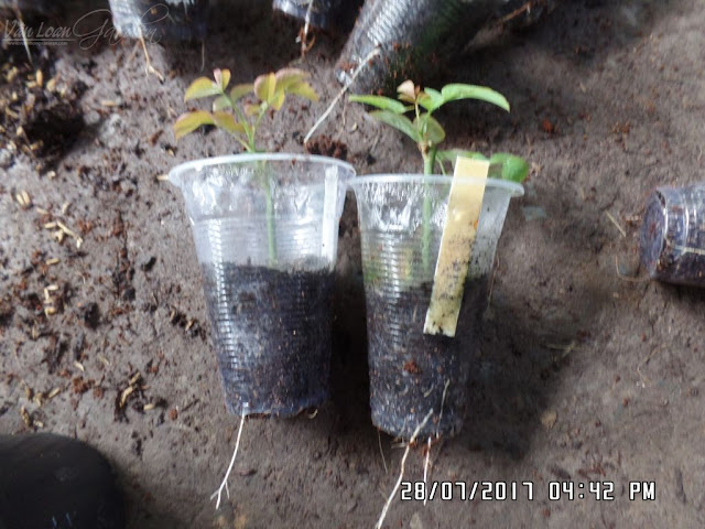 Cành giâm bên phải bộ rễ ok hơn cành giâm bên trái, và cành bên phải khi ra chậu sẽ dễ phát triển hơn!