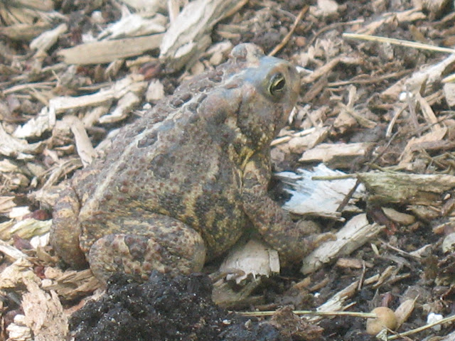 how to find toads in your backyard