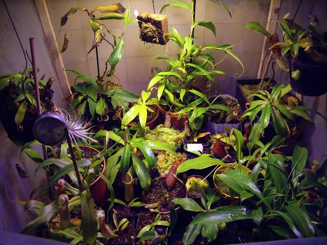 photos de mes orchidées en fleur IMGP4424
