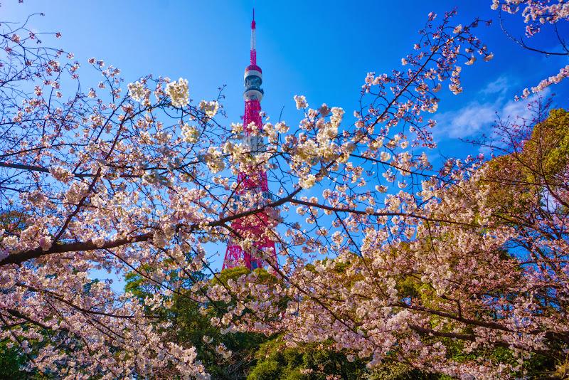増上寺 桜 写真 15