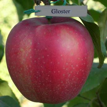 Глостер яблоня купить