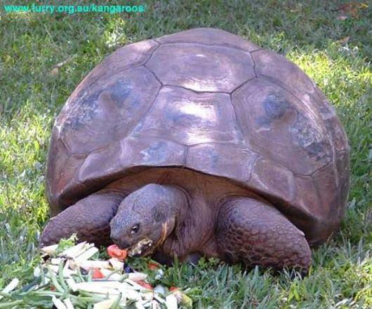 Universo animale tartaruga delle galapagos - Pagine di colorazione tartaruga ...
