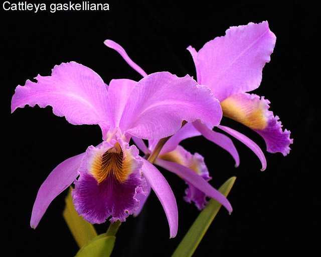 Растения из Тюмени. Краткий обзор - Страница 2 Cattgaskeliana