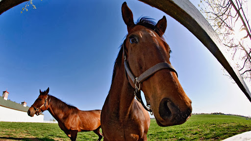 Thoroughbred Fisheye Portrait, Calumet Horse Farm, Lexington, Kentucky.jpg