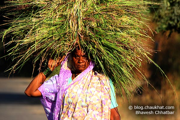 An Indian lady farmer carrying grass feed for her cows and buffalos