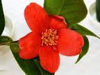 朱紅色 一重 盃状咲き 丸形 肉厚 ユキツバキ状芯 小輪