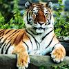 Antonella Tigerlover