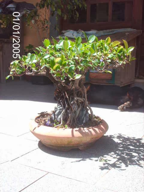 Ficus Microcarpa do Roberto Teixeira... PICT2384
