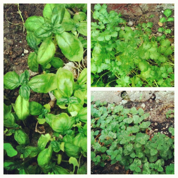 basil + cilantro + oregano
