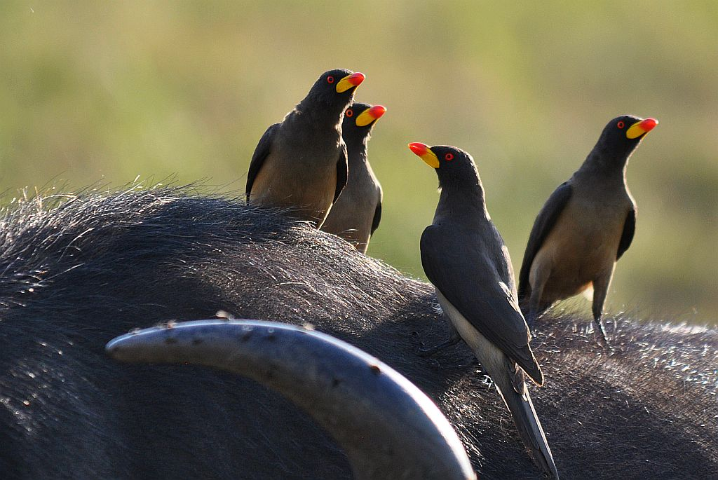 Elsen Karstad's 'Pic-A-Day Kenya': Alert Tick-Birds- Masai Mara, Kenya