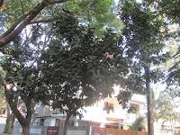 https://lh4.googleusercontent.com/-B1BDiUAKeSc/T4024mTY9rI/AAAAAAAAAaw/p-zu90r5_7s/s1600/ZZ+Unknown+088+Tree+-+Canopy.jpg
