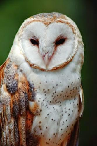 Spirit Animal Round Up Owl