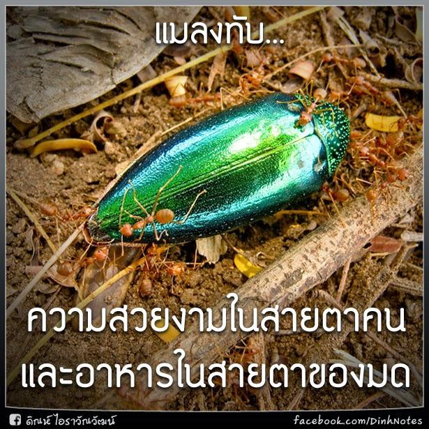 แมลงทับ... ความสวยงามในสายตาคน และอาหารในสายตาของมด