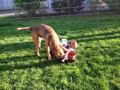 Hund sucht die Leckerchen ...