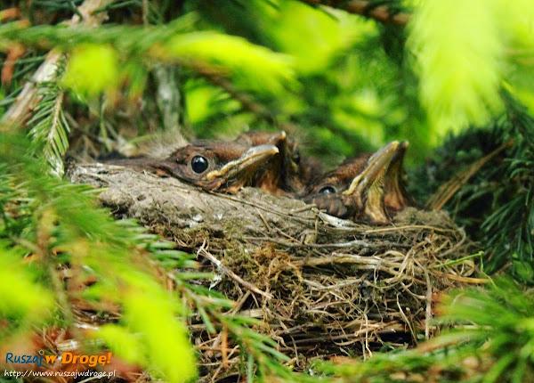 ptaszki w gnieździe - śpiewały nam do śniadania