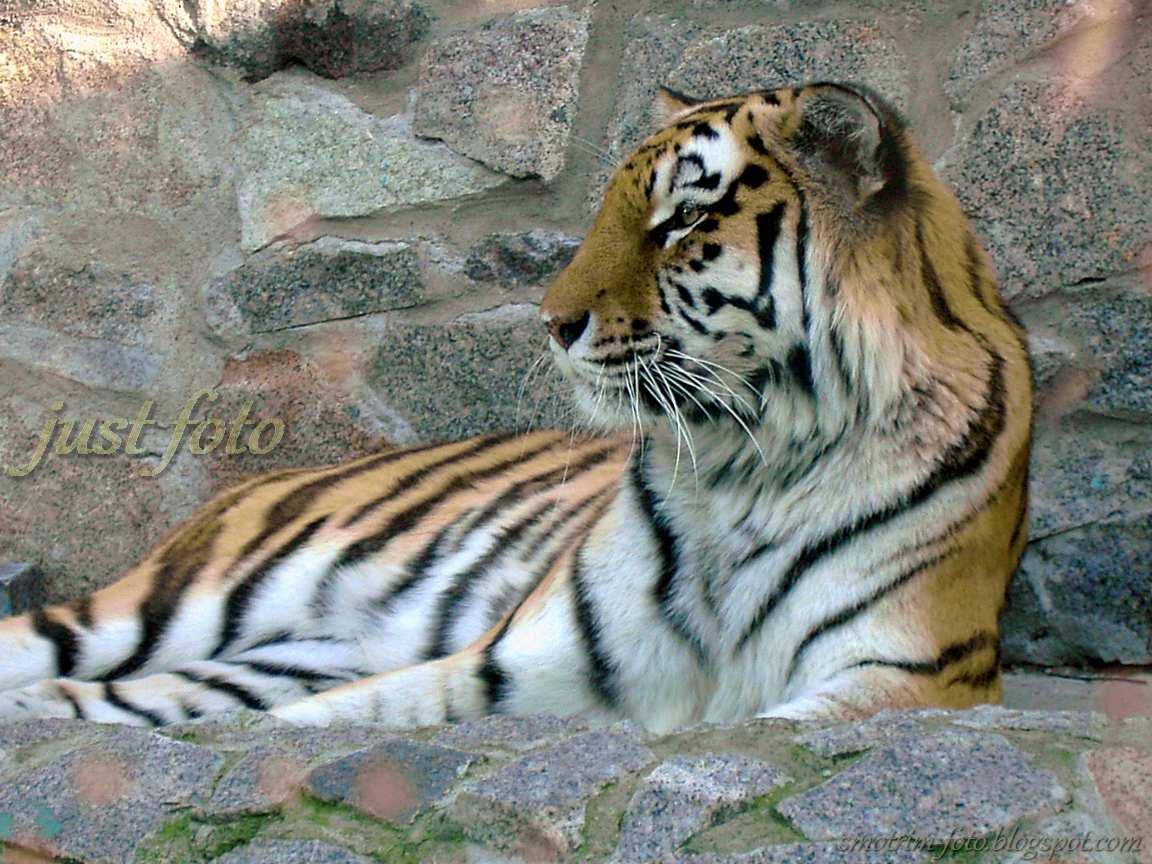Тигр в зоопарке Санкт-Петербурга живет в лучших условиях фото