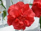 濃紅色 牡丹咲き 花びらは波打つ トウツバキ状芯 大輪
