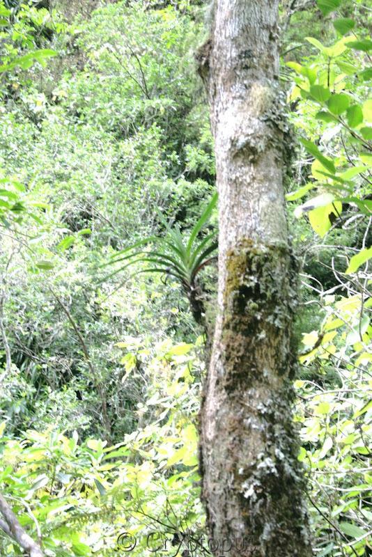 Orchidées in situ, sur l'ile de la Réunion IMG_2170
