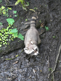 Raccoon at Sawgrass Lake Park