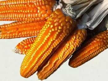 Alla ricerca della polenta perduta   5 Febbraio Curno