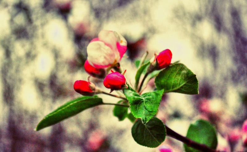 Almavirág fehérvasárnap, kishúsvét, komázó vasárnap