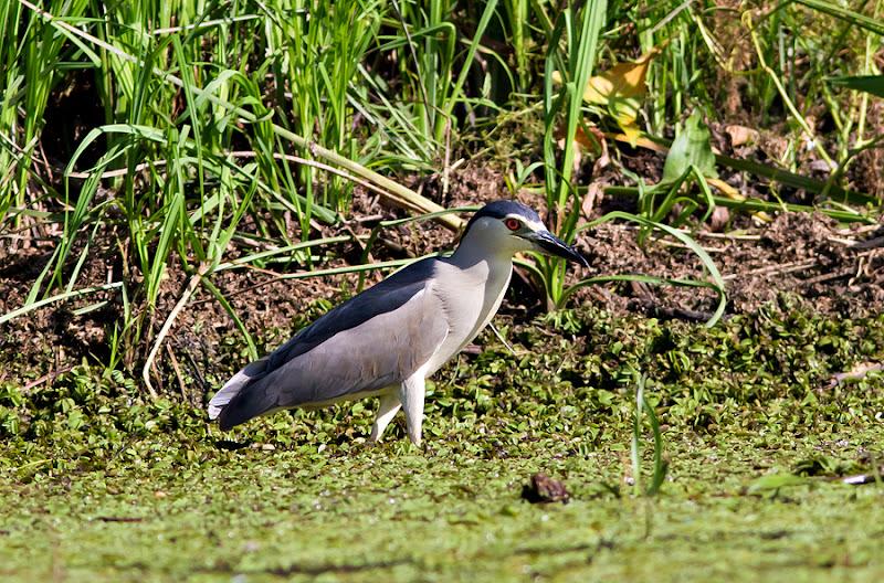 pasari Delta Dunarii birdwatching caiac