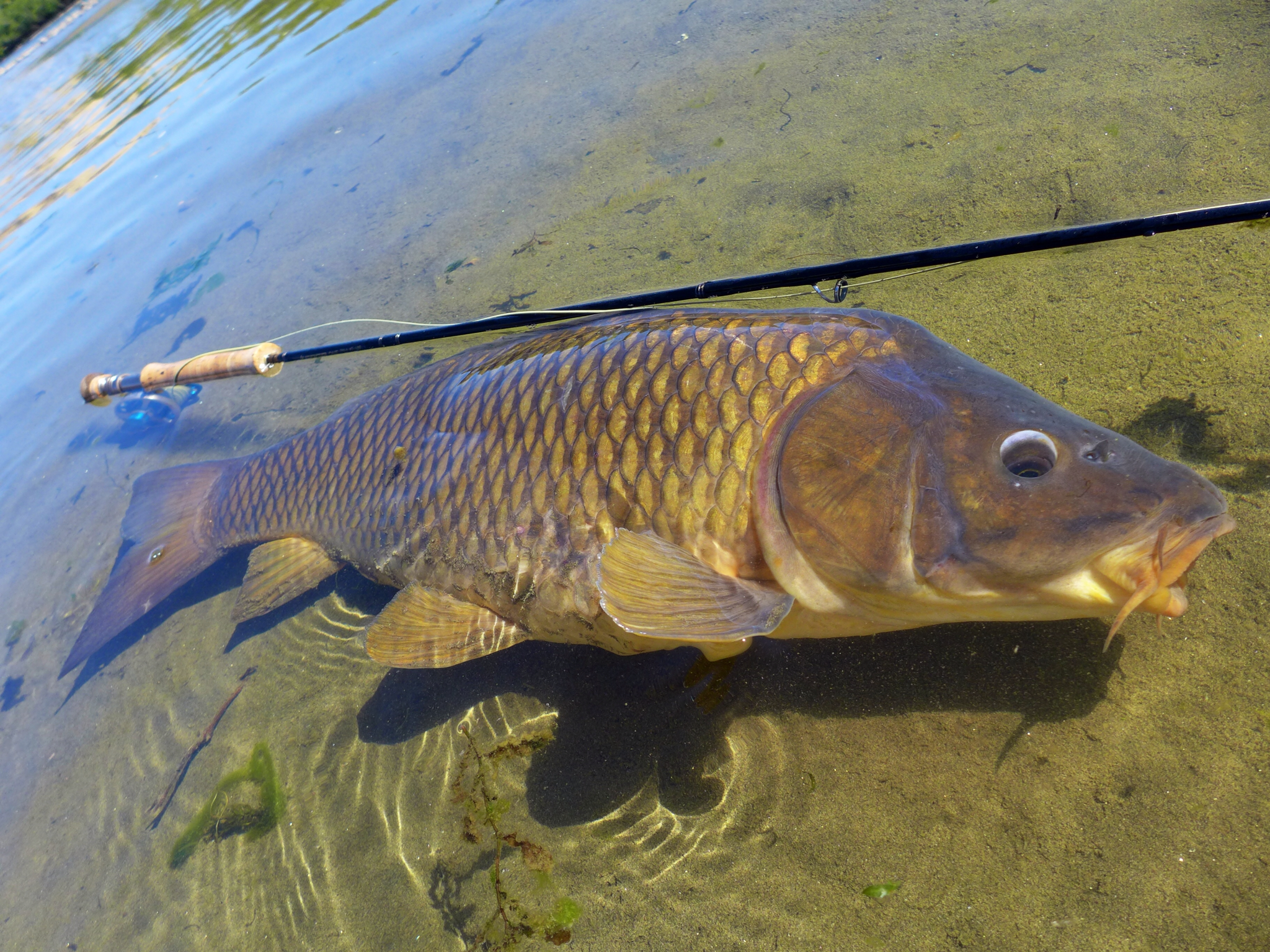 Carp on the fly late summer fish for Carp fly fishing