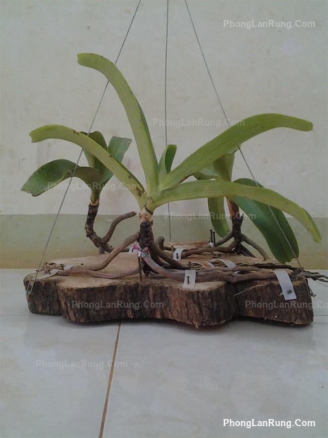 Ghép lan đơn thân lên gỗ