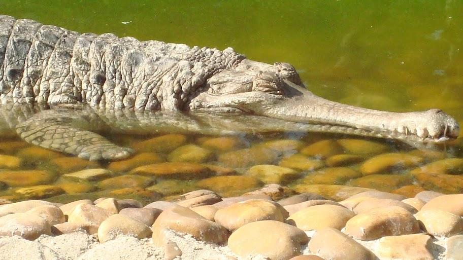 Questões e Fatos sobre Crocodilianos gigantes: Transferência de debate da comunidade Conflitos Selvagens.  - Página 2 DSC03267