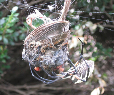 Argiope spider eats bird